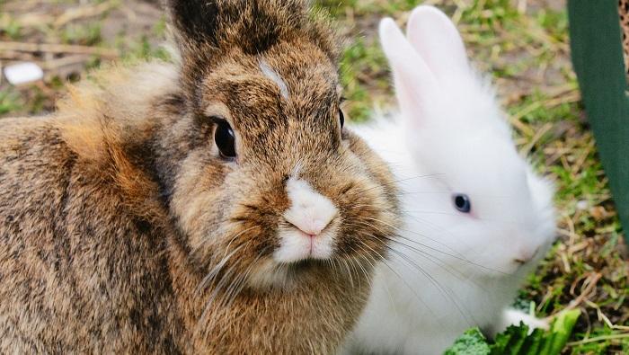 белый кролик и коричневый
