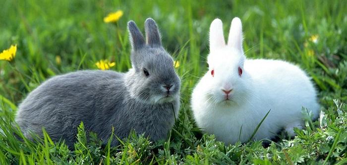 кролики серый и белый