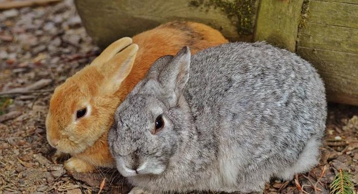 серый и рыжий кролик